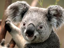 A picture of a Koala Bear