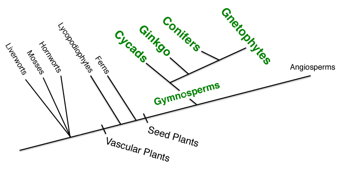 Ksu faculty web gymnosperms gymnosperms 1100 species and angiosperms together comprise the seed plants which are heterosporous and keep their spores and gametophytes embedded ccuart Image collections