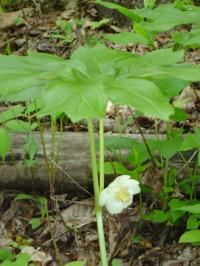 Photo of Mayapple in bloom