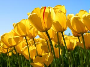 Wonderful yellow tulips