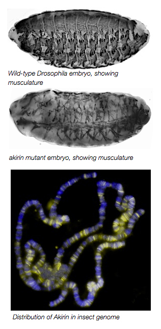 Three images, top to bottom: Wild-type Drosophila embryo, showing musculature; akirin mutant embryo, showing musculature; Distribution of Akirin in insect genome